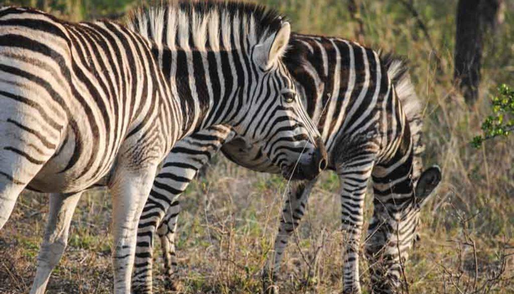 Suedafrika Krueger National Park Zebra
