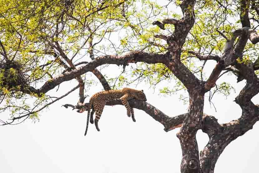 Suedafrika Krueger National Park Leopard