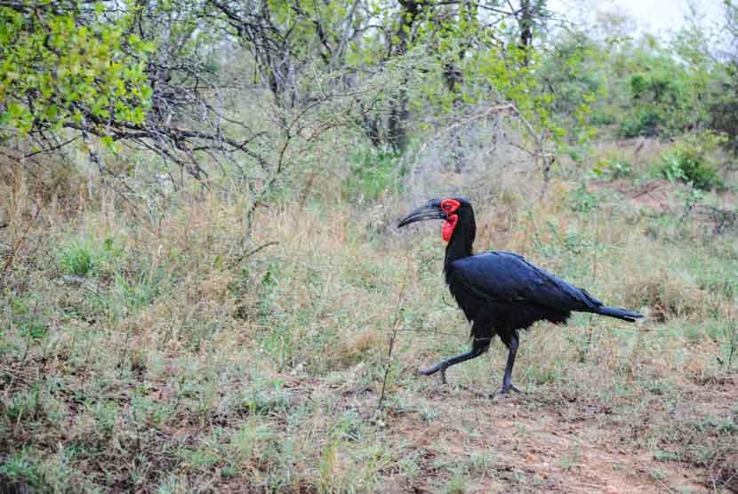 Suedafrika Krueger National Park Hornvogel