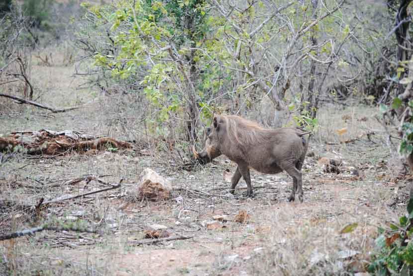 Suedafrika Krueger National Park Warzenschwein
