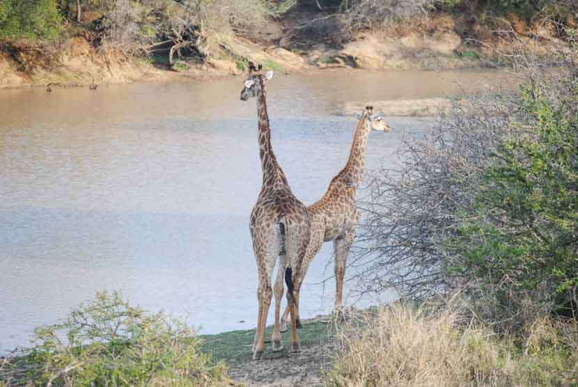 Suedafrika Krueger National Park Giraffen