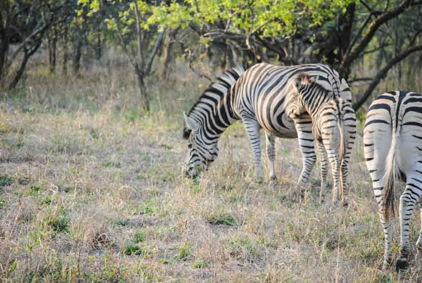 Suedafrika Krueger National Park Zebras