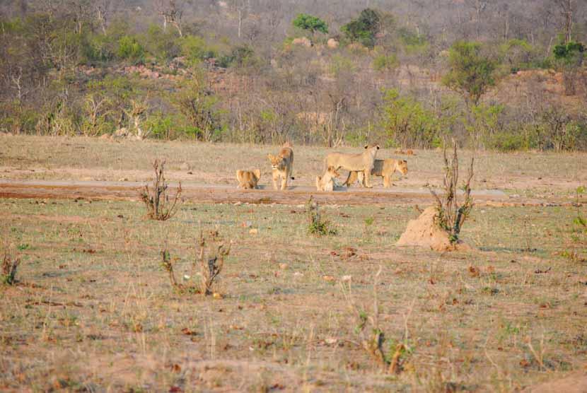 Suedafrika Krueger National Park Löwen