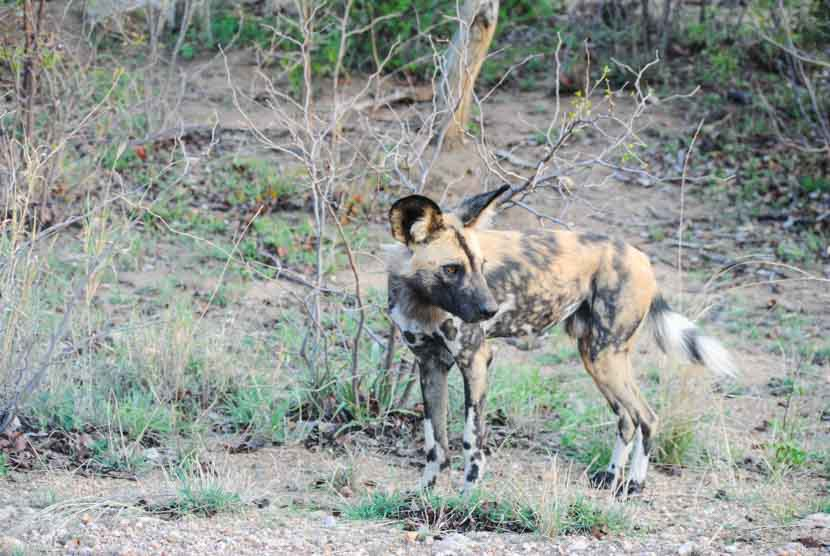 Suedafrika Krueger National Park WIldhunde