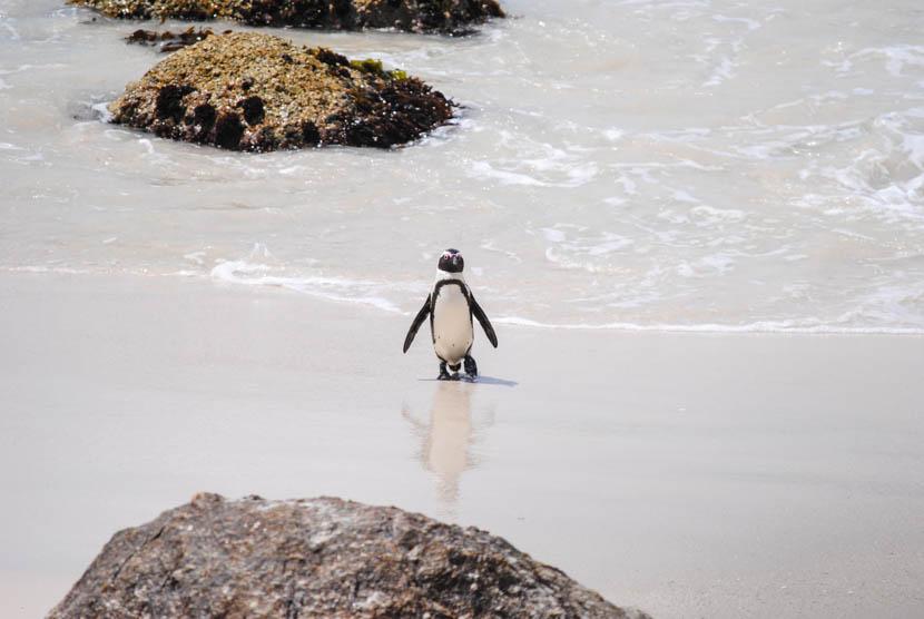 Suedafrika Kapstadt Boulders Beach Pinguine