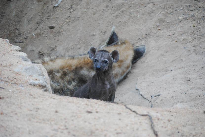 Suedafrika Krueger National Park Hyäne